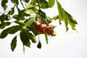 Akee Frucht Lebensmittel