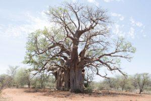 Affenbrotbaum Quelle des Baobab