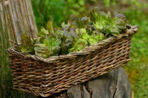 Blattsalat Lebensmittel