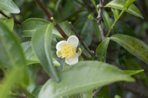 Teebaumöl Pflanze